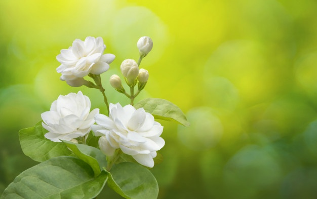 jasmine-flower-greenery_34266-955.jpg